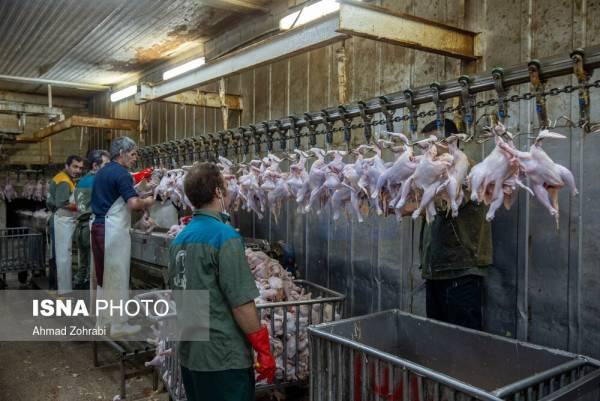 🔺 مرغ با قیمت مصوب عرضه می شود/ تخلف از کشتارگاه تا واحدهای صنفی