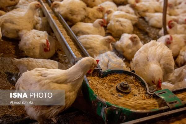 🔺 اصلاح رویه سرکوب قیمت جوجه و مرغ / کمبود ۱۰ تا ۱۵ میلیونی جوجه یکروزه